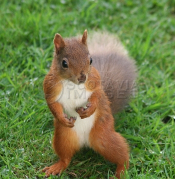 Wildlife photography red squirrel standing