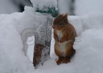 scottish wildlife photography red squirrel Cold Nuts